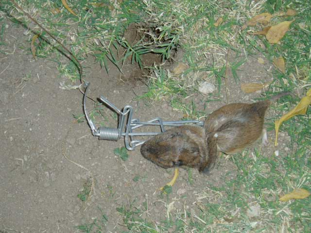 How To Trap Moles In Your Yard