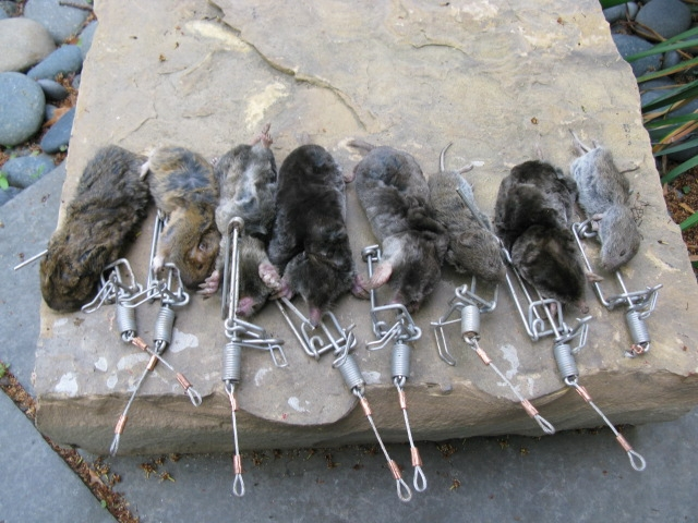 Moles, voles, and juvenile gophers trapped with trapline mole trap