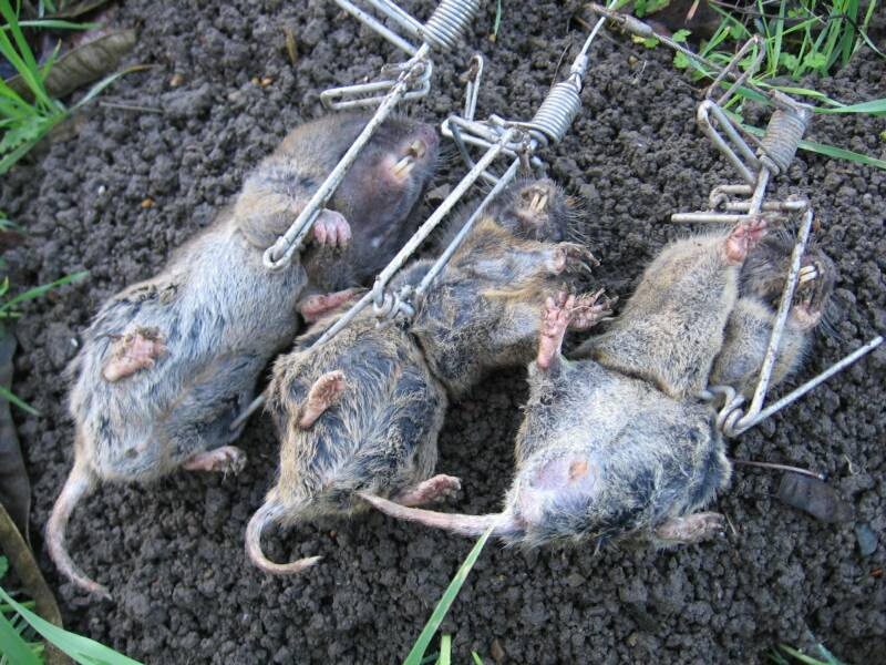 Trapline products mole and gopher traps - Volle trap ...