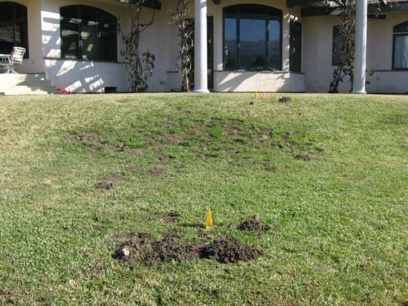 Typical gopher damage in suburban lawn