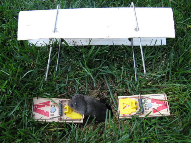 Vole control with basic vole trap setup