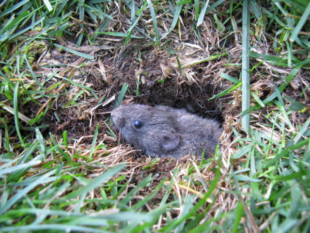 Vole emerging from hole in lawn