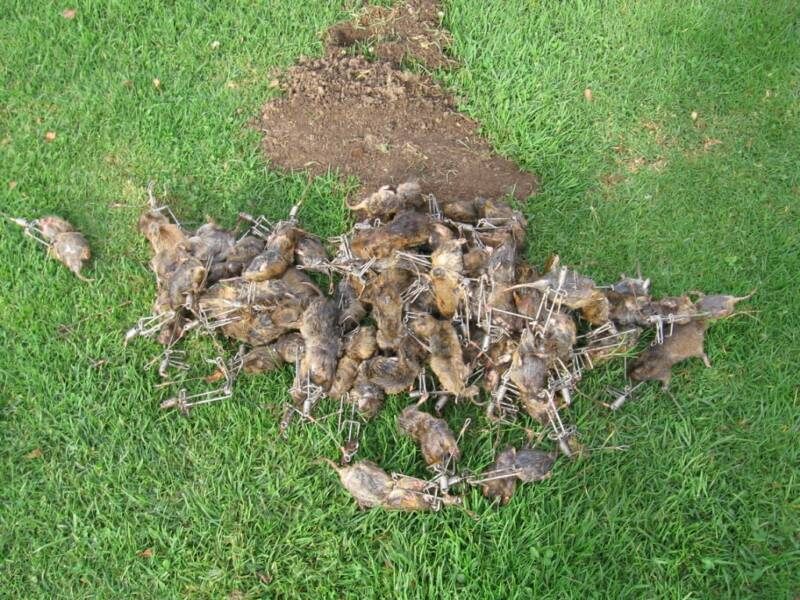 Pile of trapped gophers in gophinator traps